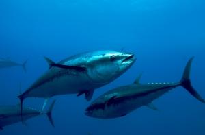 atlantic_bluefin_tuna_thunnus_thynnus__oceana_keith_ellenbogen